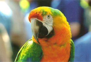 зеленокрылый ара